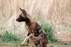 wild hund Arkivbilder