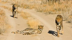 Wild hungry cheetahs walking on the country road royalty free stock images