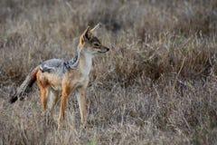 Wild hunting jackal Stock Photography