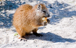 Wild hutia stock photo