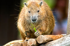 Wild hutia Stock Photography