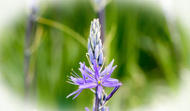Wild Hyacinth Flower Head with a vignette border Royalty Free Stock Image