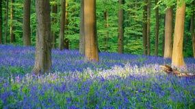Wild Hyacinth in Hallerbos in Belgium Stock Photo