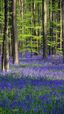 Wild Hyacinth in Hallerbos in Belgium Stock Photos