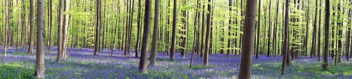 Wild Hyacinth in Hallerbos in Belgium Royalty Free Stock Image
