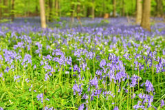 Wild hyacinth in Hallerbos Royalty Free Stock Photos