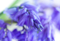 Wild hyacinth Hyacinthoides hispanica in forest Royalty Free Stock Images
