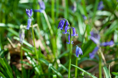 Wild hyacinth Hyacinthoides hispanica in forest Stock Photography