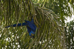 Wild Hyacinth Macaw Climbing Down Palm Tree Stock Image