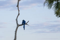 Wild Hyacinth Macaw Grooms Wing on Bare Branch Stock Photo