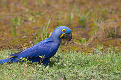 Wild Hyacinth Macaw on the ground Stock Photography