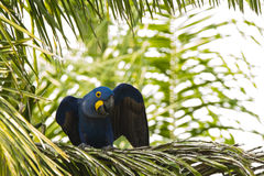 Wild Hyacinth Macaw on Palm Tree with Wing Wave Royalty Free Stock Photos