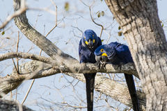 Wild Hyacinth Macaws Investigating from Up in Tree Stock Photography