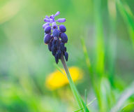 Wild hyacinth Stock Images