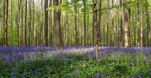 Wild Hyacinths or blue bells in Hallerbos in Belgium Stock Photos