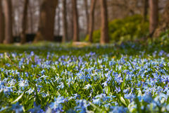 Wild hyacinths in forest. Wild blue hyacinths in nature sunny forest Stock Image