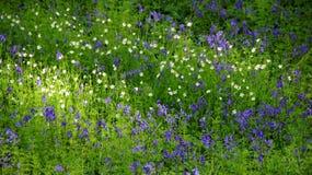 Wild Hyacinths in Hallerbos in Belgium Stock Photos