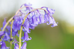 Wild hyacinths Royalty Free Stock Images
