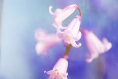 Wild hyacinths Royalty Free Stock Image