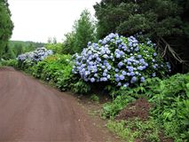 Hydrangeas growing wild beside a track, Sao Miguel island, The Azores. Wild hydrangeas growing in a verge beside a rough track on Sao Miguel island, The Azores stock photography