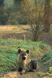 Wild hyena. Resting on the ground in the South Luangwa national park, Zambia stock images