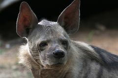 Hyena. Wild hyena looking great in wild royalty free stock photography