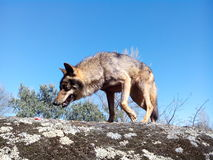 Wild Iberian Wolf. Stock Photography