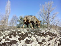 Wild Iberian Wolf. Royalty Free Stock Image
