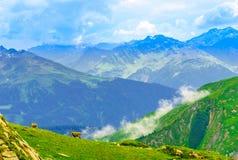 Wild ibex herd in the Alps by Arlberg in Austria stock photography