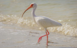 Wild Ibis on the Atlantic Ocean, Florida, USA Stock Photos