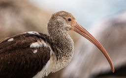 Wild Ibis on the Atlantic Ocean, Florida, USA Royalty Free Stock Image