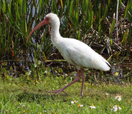 Wild Ibis Royalty Free Stock Images