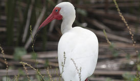 Wild Ibis 2 Stock Photography