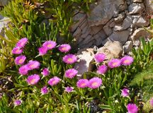 Wild ice or hottentot plants Royalty Free Stock Photos