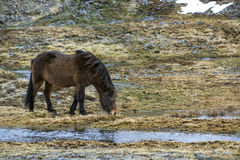 Wild Icelandic horse in spring Stock Photo