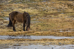 Wild Icelandic horse in spring Royalty Free Stock Images
