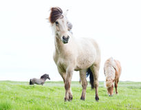 Wild Icelandic horses. Beautiful animals in green pasture low point of view this horse breed only lives in Iceland Stock Photo