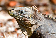 Wild iguana Stock Photography