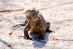 Wild iguana royalty free stock images