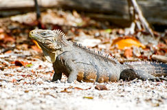 Wild iguana Stock Photos