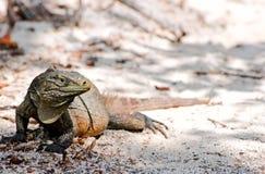 Wild iguana Stock Images