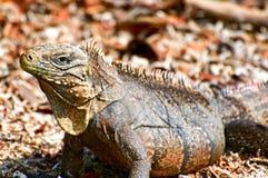 Wild iguana Stock Photos