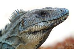 Wild iguana. Portrait in the beach Royalty Free Stock Photos