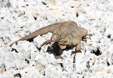Wild iguana. On east calendar 2012 - year of a dragon Stock Photos