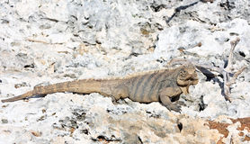 Wild iguana. Royalty Free Stock Photo