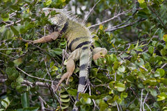 Wild iguana. In the everglades Royalty Free Stock Image
