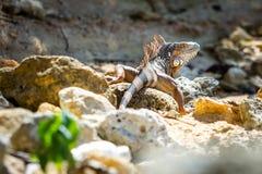 Wild iguana at the beach of Puerto Rico on rocks stock image