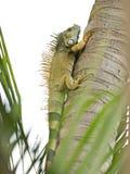 Wild Iguana Climbing A Tree. A wild iguana species: iguana iguana is climbing a tree in search of food Stock Photos