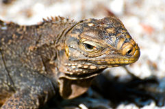 Wild iguana close-up Royalty Free Stock Photography