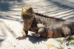 Wild Iguana, Cuba. Impressive wild Iguana lizard on Cayo Blanco island in Cuba Stock Photography